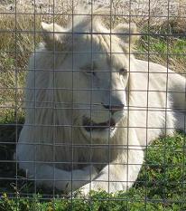 White Lion at Cape Town Lion Park