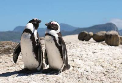Cape Town Penguins at Boulders Beach
