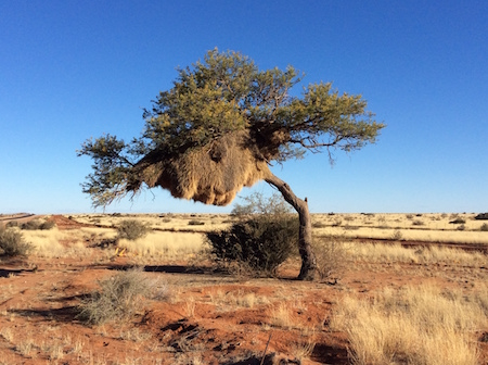 Huge Sociable Weavers' bird nest in the Northern Cape South Africa