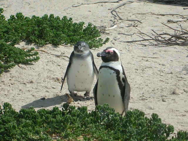 african_penguins