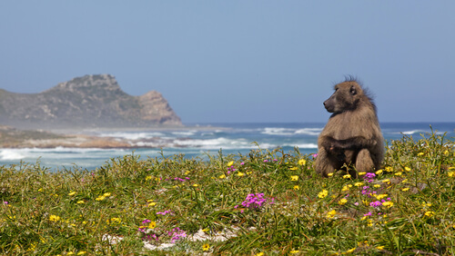 Cape of Good Hope with Baboon and Wildflowers - image by David Steele/Shutterstock