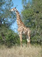 Giraffe in the Kruger Park. Picture by Kerryn du Plessis
