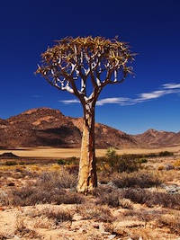 Kokerboom or Quiver Tree