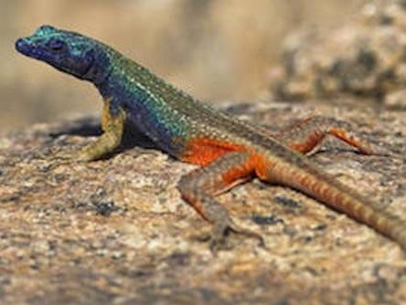 Augrabies Falls Lizard