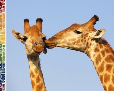 South Africa Giraffes kissing on cheek - South Africa facts