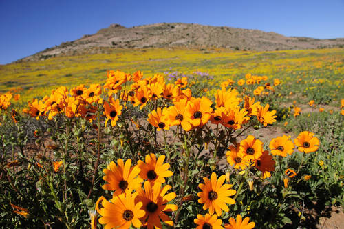 Cape Wildflowers in Namaqualand - ExpatCapeTown