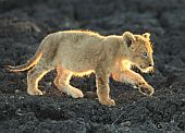 Nicky Silberbauer Safari Photo Golden Cub