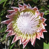 Protea in bloom