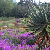 Wildflowers and Aloe at Kirstenbosch