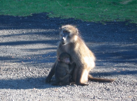 Baboon with baby on the road - ExpatCapeTown