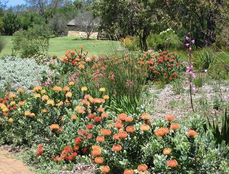 Proteas in Kirstenbosch Cape Town