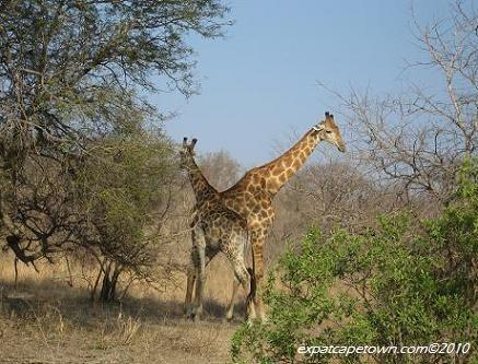 Giraffes at Krueger Park